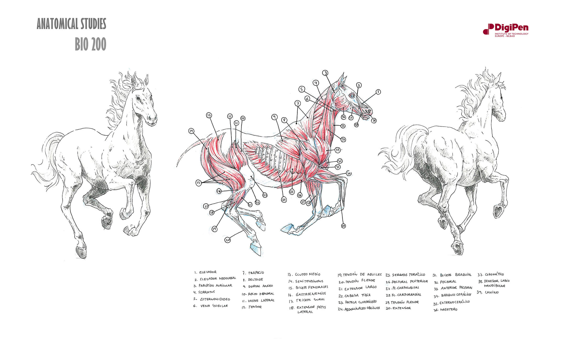 Black-white-and-red anatomical sketches of horse in mid-gallop and cross-section of its muscular system.