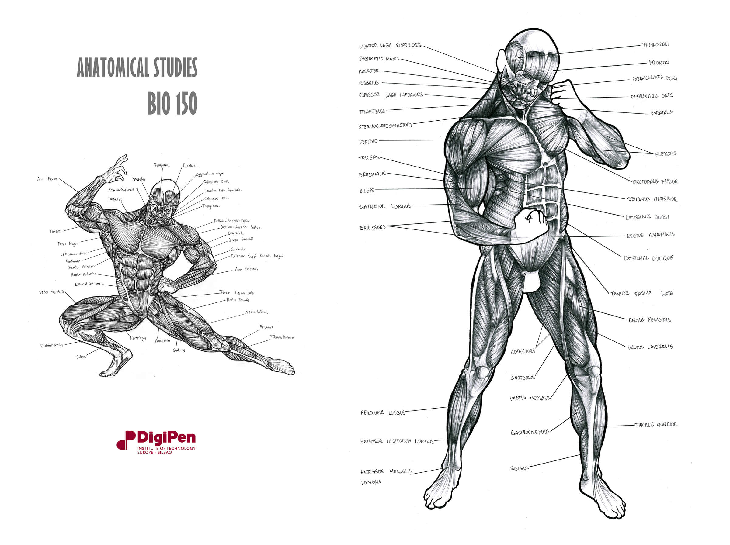 Black-and-white anatomical sketches of the human muscular system, one in a kneeling pose, the other standing.