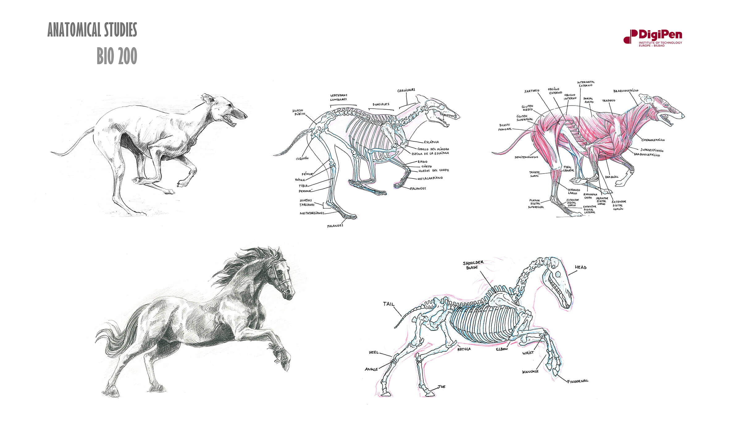 Black-and-white sketches of a dog and horse mid-run/gallop and cross-sections of their skeletal and muscular systems.