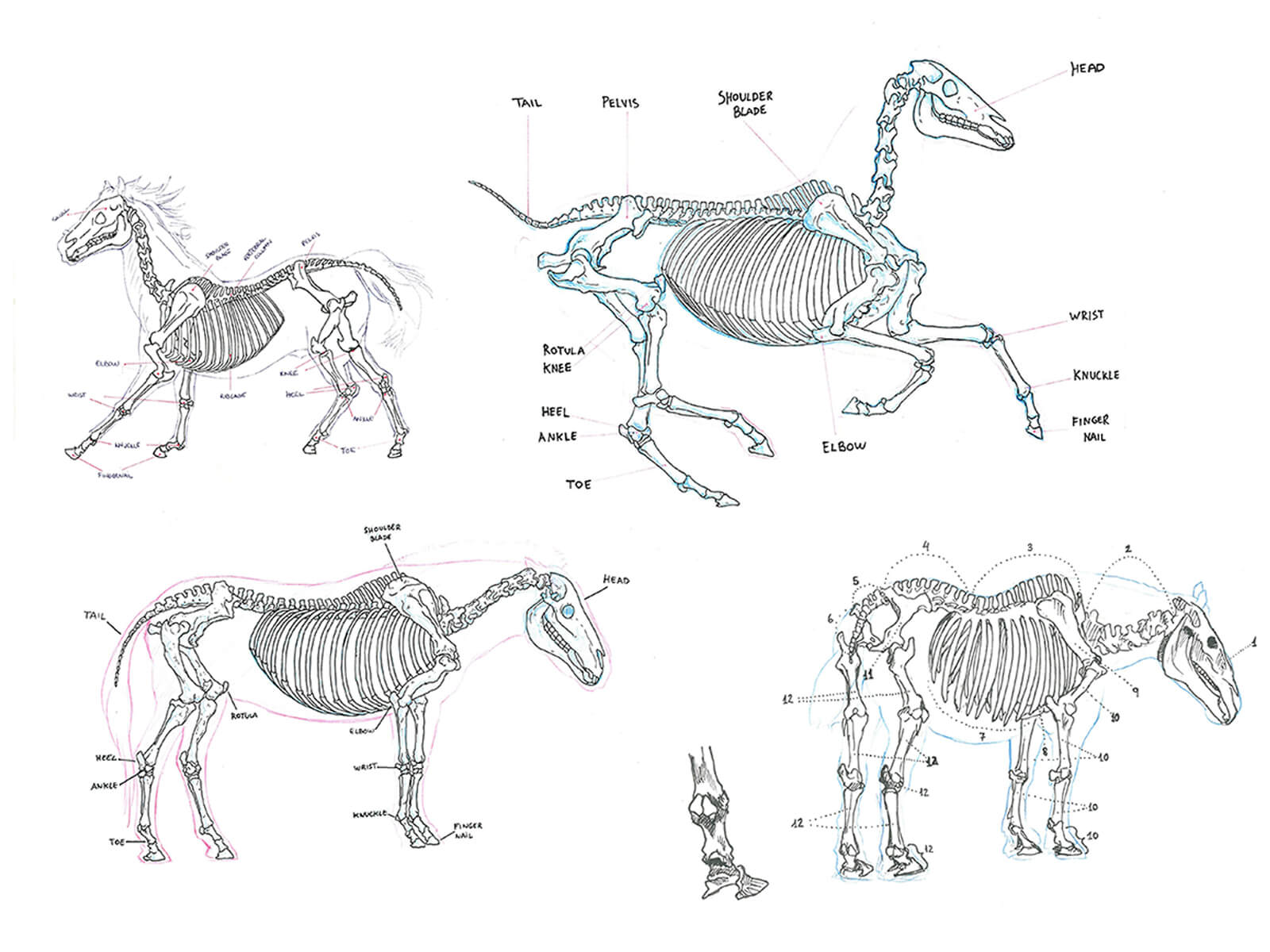 Black-and-white sketches of a horse's skeletal system both while standing still, and moving at a gallop and trot.